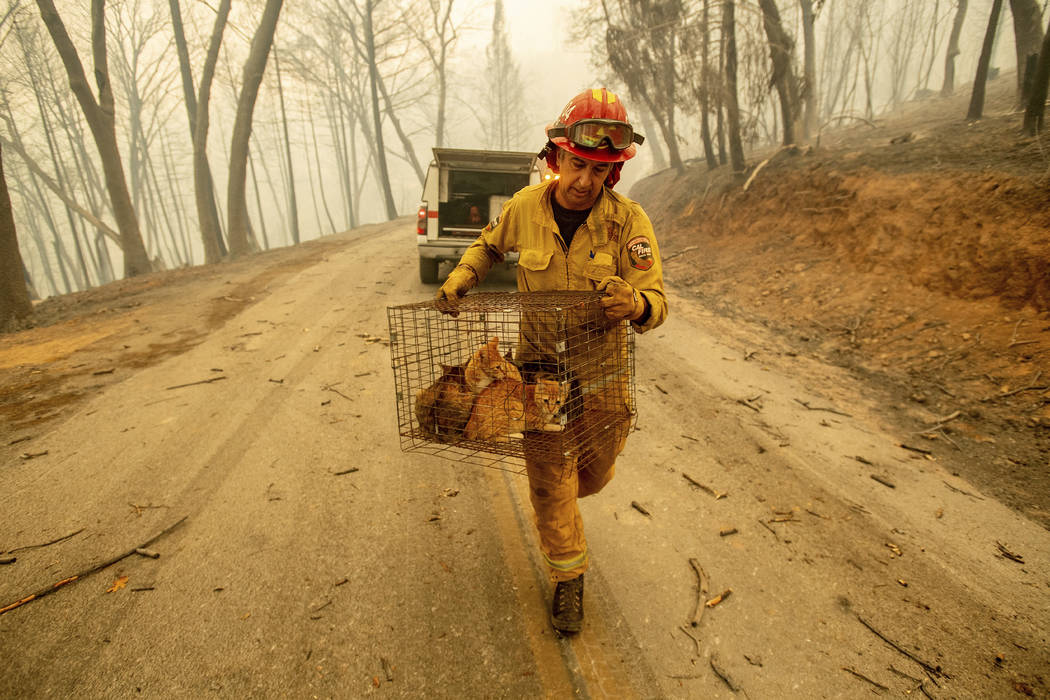 Capt. Steve Millosovich carries a cage of cats while battling the Camp Fire in Big Bend, Calif., on Friday, Nov. 9, 2018. Millosovich said the cage fell from the bed of a pick-up truck as an evacu ...