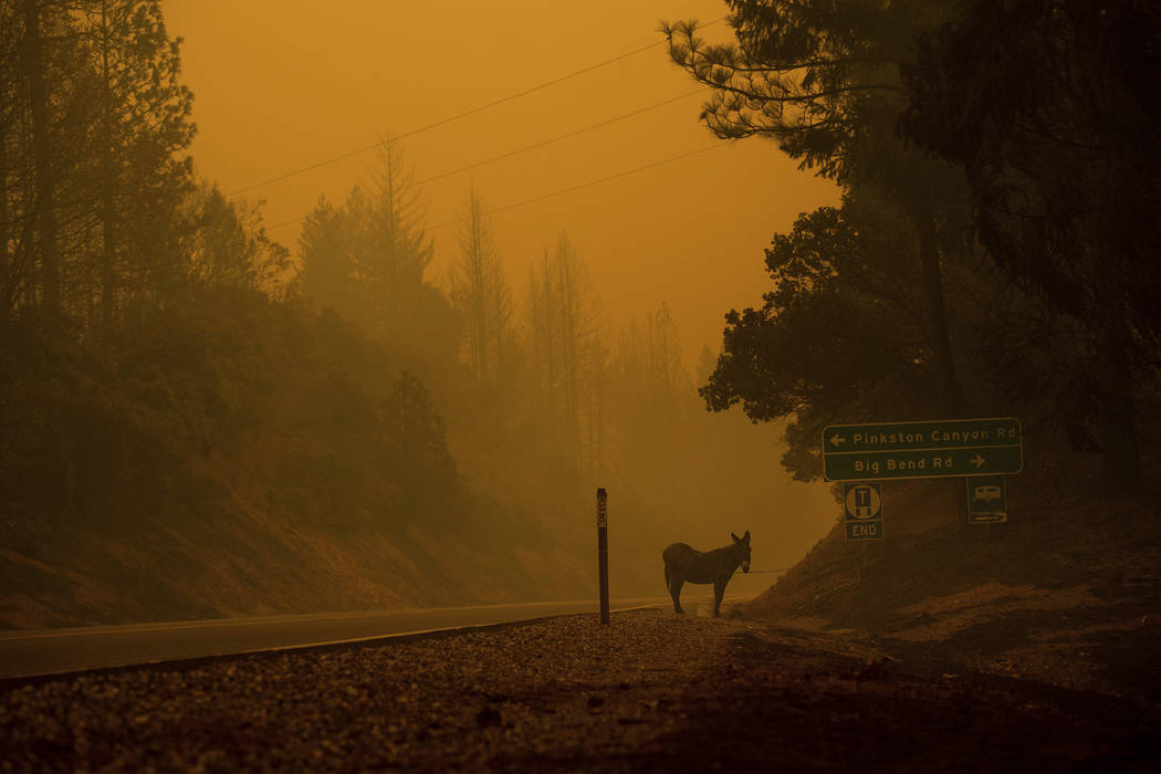 A donkey rests on a roadside as the Camp Fire burns in Big Bend, Calif., on Friday, Nov. 9, 2018. (AP Photo/Noah Berger)