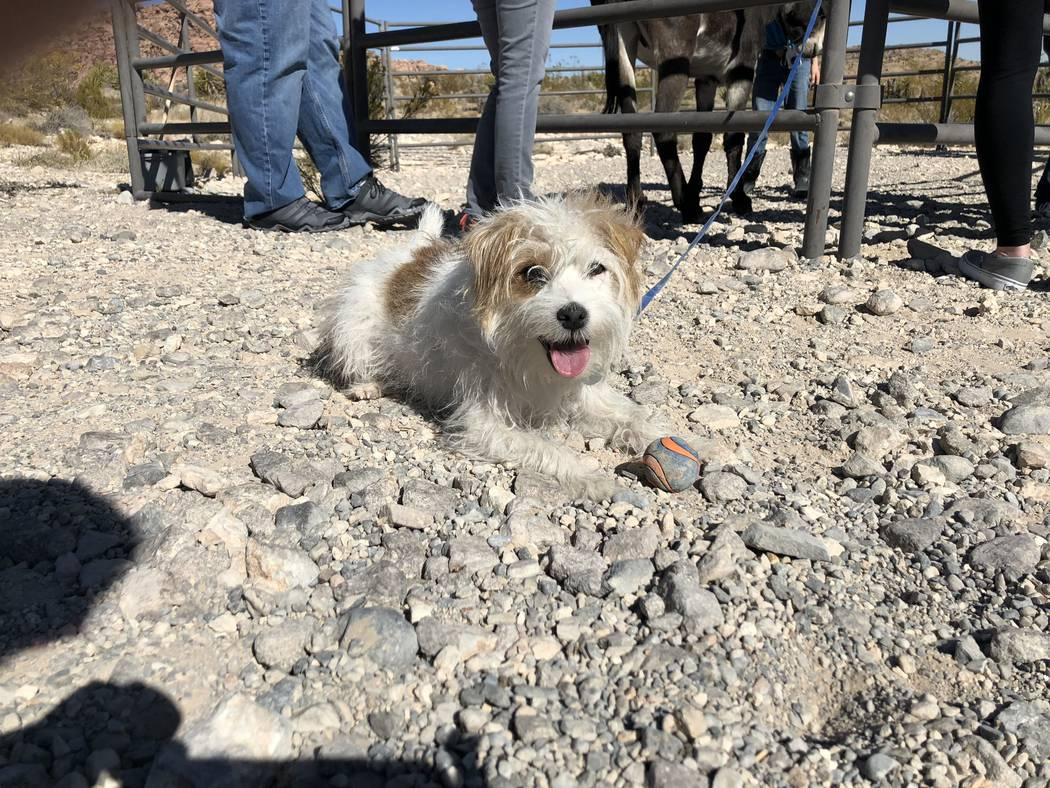 """Millie the dog attends a book-signing for the debut of """"Jackson: The Red Rock Canyon Burro"""" on Saturday, November 10, 2018. (Janna Karel Las Vegas Review-Journal)"""