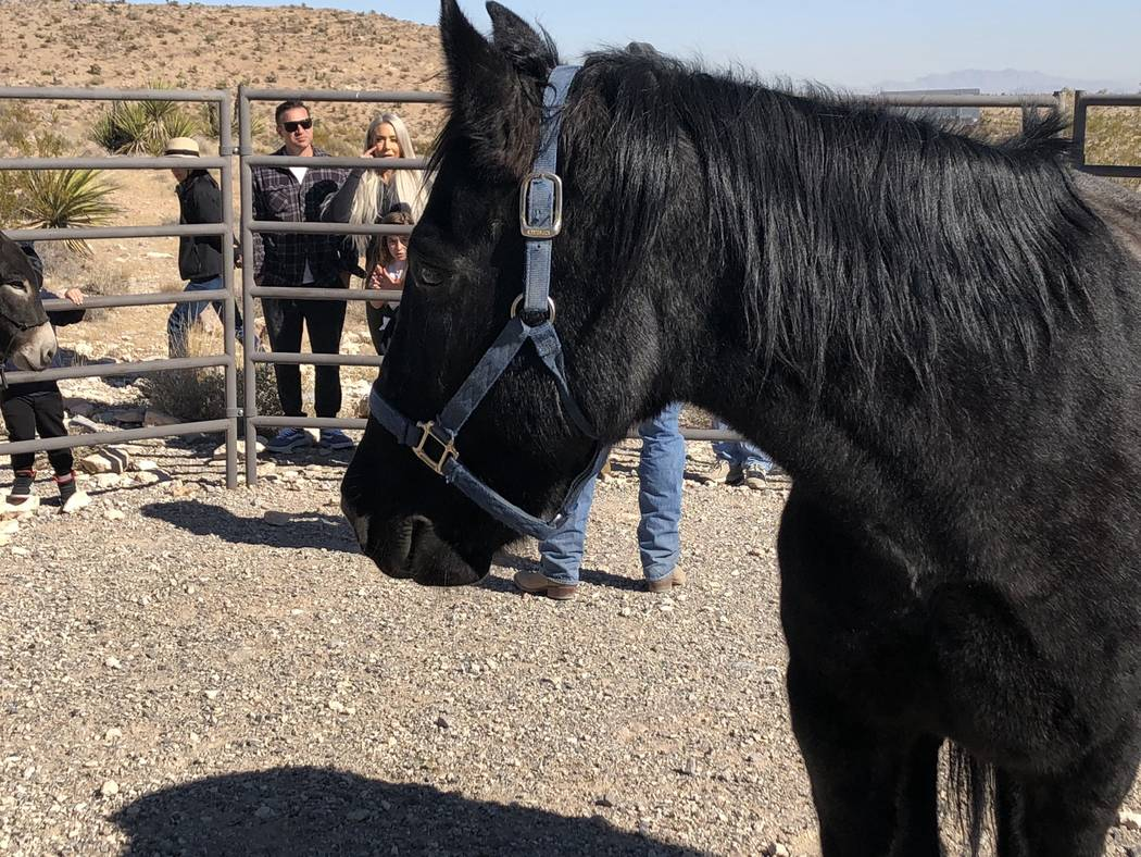 """Carson the mustang attends a book-signing for the debut of """"Jackson: The Red Rock Canyon Burro"""" on Saturday, November 10, 2018. (Janna Karel Las Vegas Review-Journal)"""