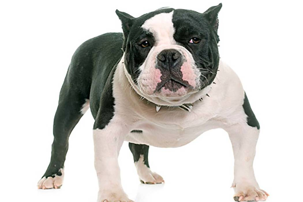 American Bully puppy (Getty Images)