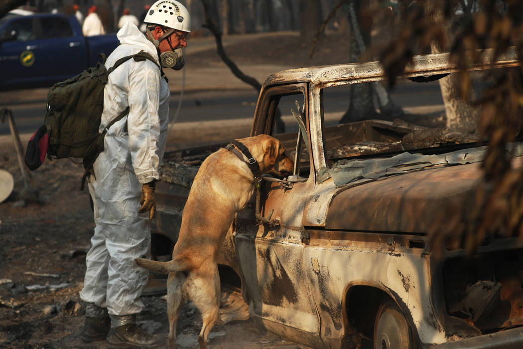 A recovery dog searches for human remains in Paradise, Calif., on Friday, Nov. 16, 2018. AP Photo/John Locher)