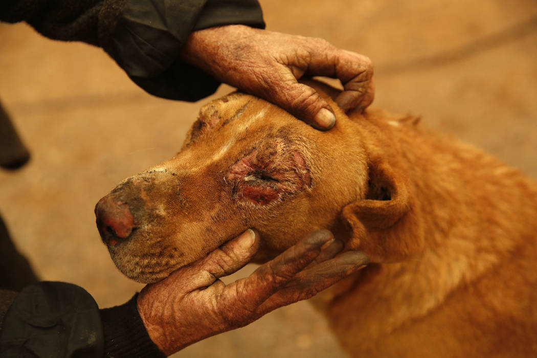 FILE - In this Nov. 9, 2018, file photo, Cathy Fallon pets her dog Shiloh at their home in Paradise, Calif. Shiloh was burned when a wildfire scorched the property, burning down Fallon's home. Fal ...