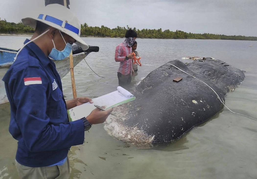 In this undated photo released by Akademi Komunitas Kelautan dan Perikanan Wakatobi (Wakatobi Marine and Fisheries Community Academy or AKKP Wakatobi), researchers collect samples from the carcass ...