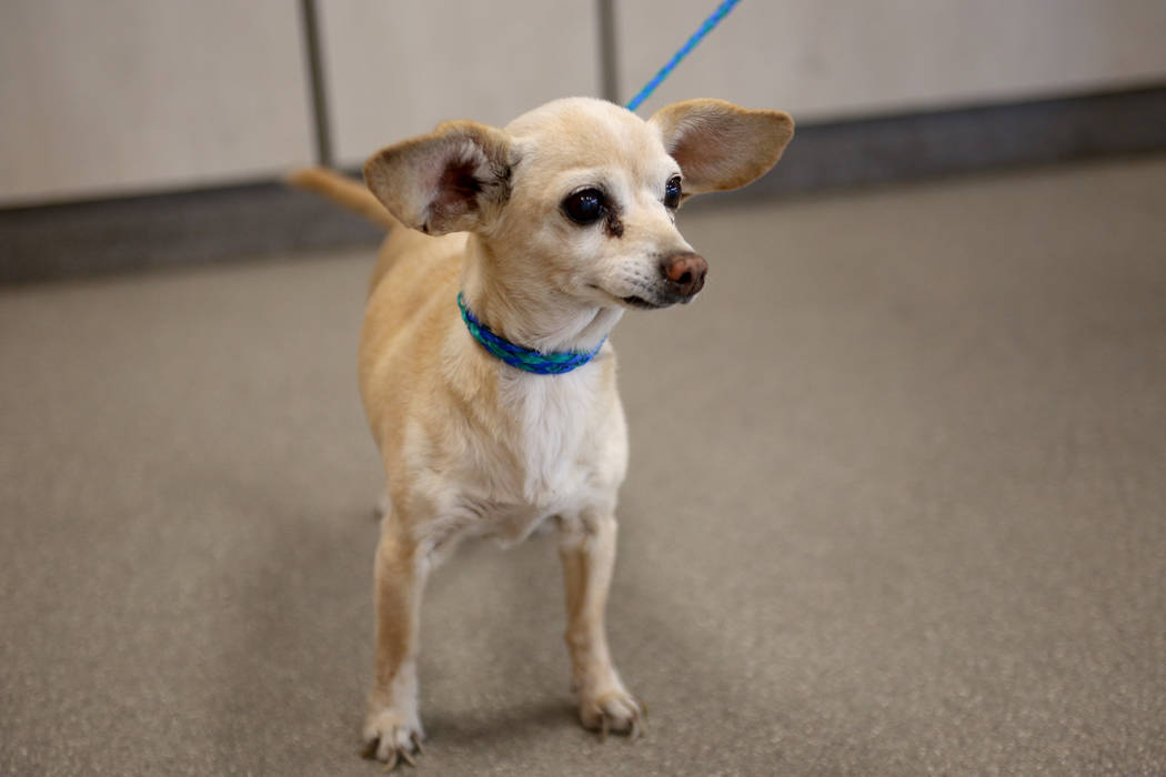 A lost dog at the Lost & Found lobby at The Animal Foundation in Las Vegas, Tuesday, Nov. 27, 2018. The Animal Foundation has begun using an app called Finding Rover to help connect lost dogs ...
