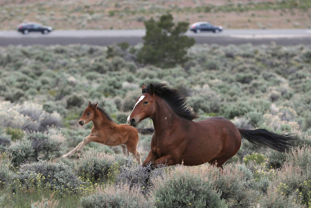 A herd of wild horses graze near Highway 50 in Mound House in April 2016. (Cathleen Allison/Las Vegas Review-Journal)