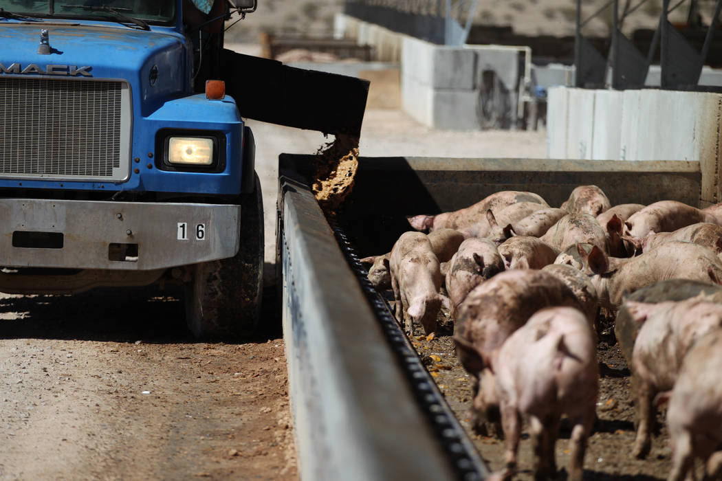 A truck delivers food to pigs at the Las Vegas Livestock near Apex in Las Vegas, Thursday, Sept. 20, 2018. An estimated 5,000 pigs are fed 30 tons of food daily. Erik Verduzco Las Vegas Review-Jou ...