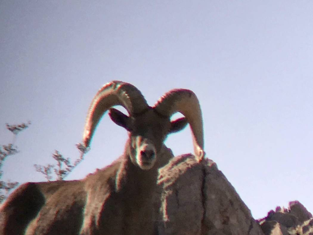 Spotting scopes can make it easier for hunters and other wildlife enthusiasts to age rams. (Doug Nielsen)