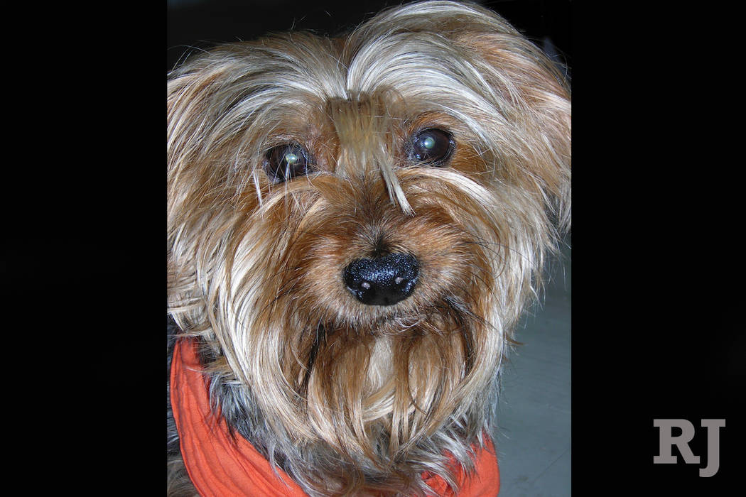 Yorkshire Terrier Retires From The Nutcracker After More Than 125