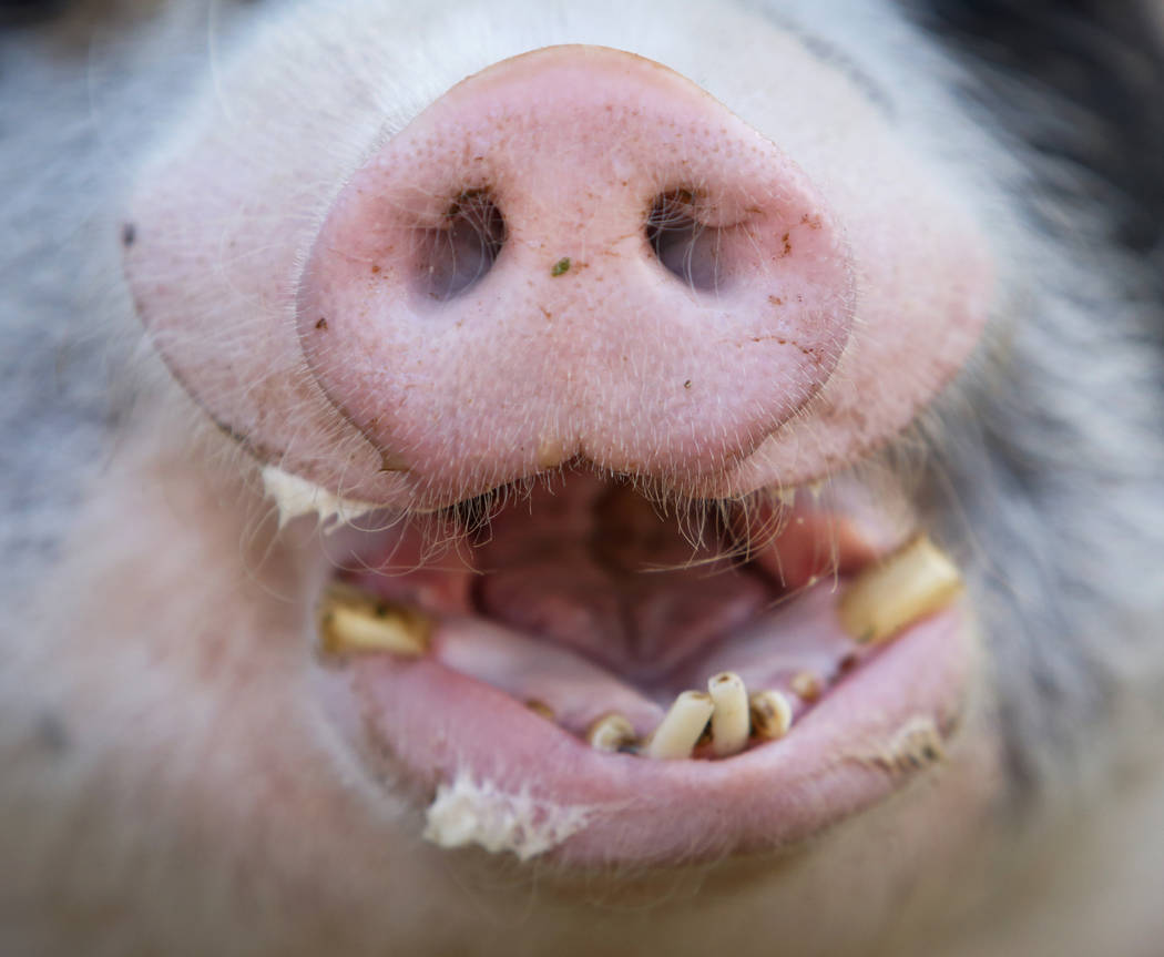 Pigs are some of the animals rescued by Barn Buddies Rescue, a non-profit dedicated to the rescue of abused, neglected or abandoned farm animals, at The Farm in Las Vegas, Sunday, Nov. 25, 2018. C ...