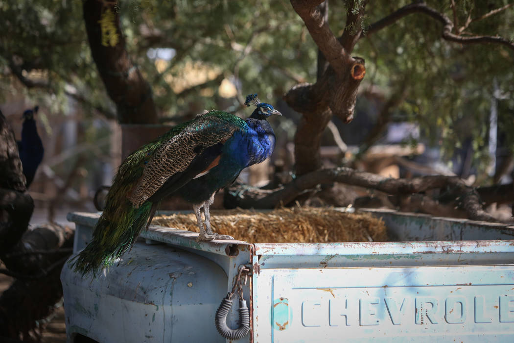 A peacock stands on an old Chevrolet truck bed at The Farm in Las Vegas, Sunday, Nov. 25, 2018. Caroline Brehman/Las Vegas Review-Journal