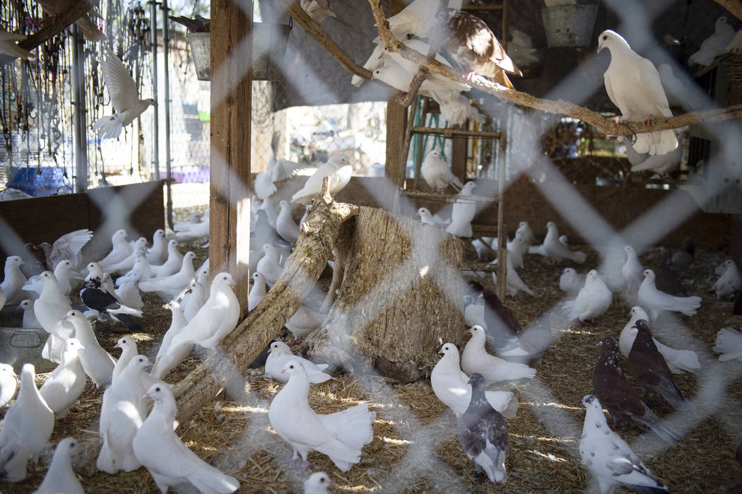 Pigeons are some of the animals rescued by Barn Buddies Rescue, a non-profit dedicated to the rescue of abused, neglected or abandoned farm animals, at The Farm in Las Vegas, Sunday, Nov. 25, 2018 ...
