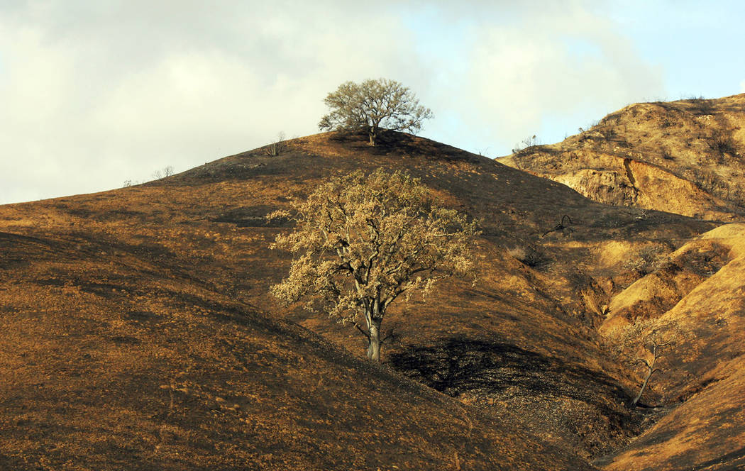 Two oak trees stand on a rain-soaked, burned-over hillside following the Woolsey Fire in Agoura Hills, Calif., on Nov. 22, 2018. (AP Photo/John Antczak)