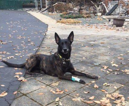 Kya, a specially trained K-9 from North Las Vegas, was injured while searching for human remains from the Camp Fire in the area of Paradise, California, on Saturday, Nov. 17, 2018. Kya is part of ...