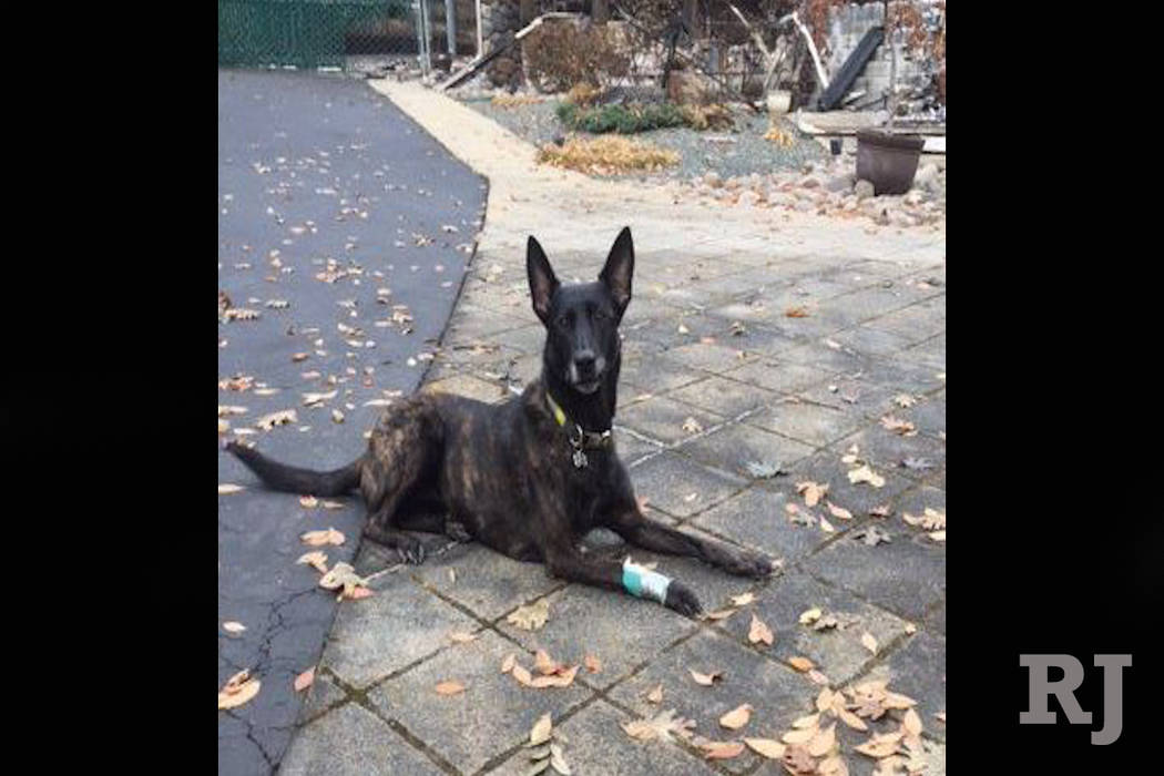 Kya, a specially trained K-9 from North Las Vegas, was injured while searching for human remains from the Camp Fire in the area of Paradise, California, on Saturday, Nov. 17, 2018. (Clark County)