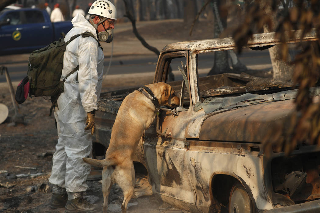 FILE - In this Friday, Nov. 16, 2018 file photo, A search and rescue dog searches for human remains at the Camp Fire, in Paradise, Calif. Rain in the forecast starting Wednesday, Nov. 21, could ai ...