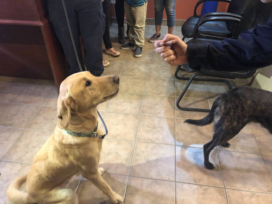 Dexter, a Labrador Retriever, waits for a treat at the Nevada Task Force 1 headquarters on Thursday, November, 29, 2018. Dexter was one of four dogs trained in human remains detection who returned ...