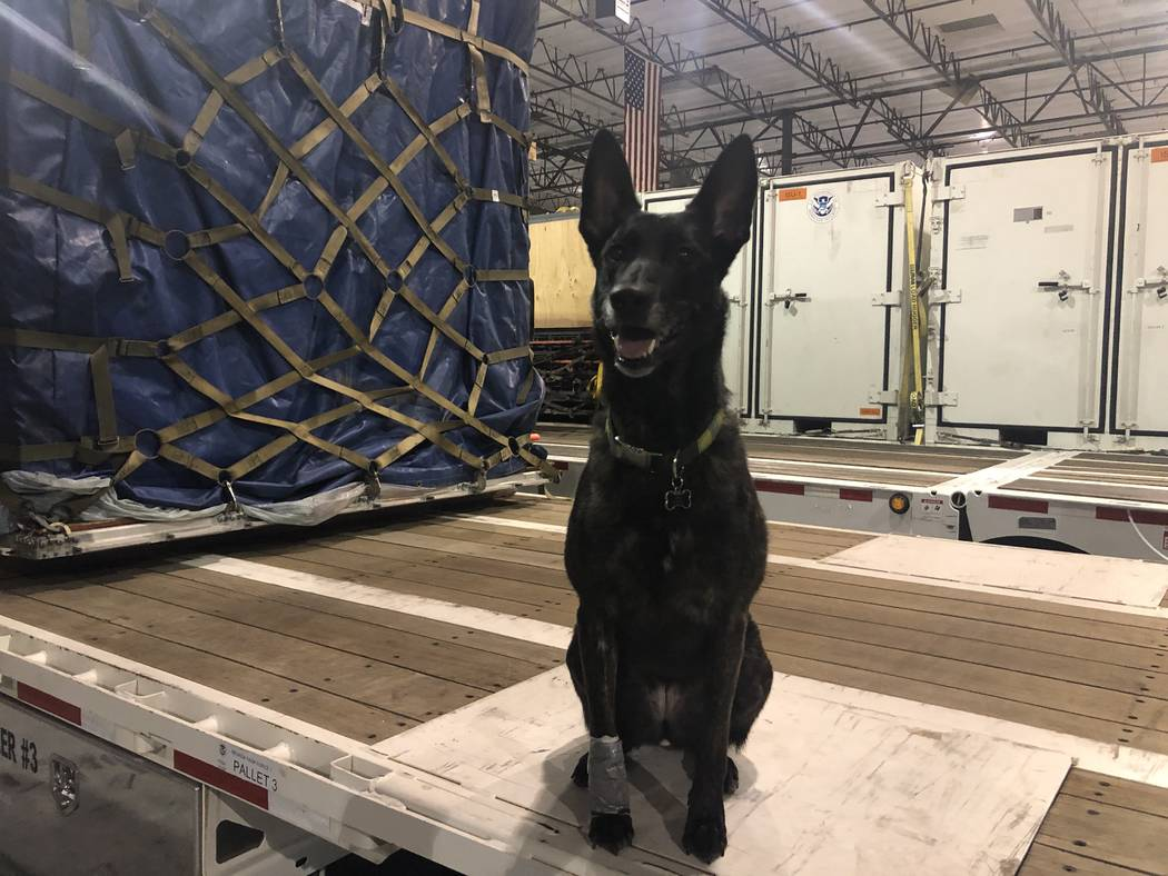 Kya, a Belgian Malinois poses for a photo at the Nevada Task One headquarters on Thursday, November 29, 2018. Kya was one of four dogs trained in human remains detection who returned to the Las Ve ...