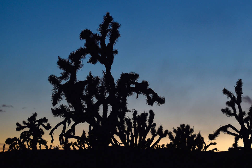 The sun goes down on Joshua trees at Castle Mountains National Monument in eastern California on Feb. 1, 2016. The Bureau of Land Management has rejected plans for a sprawling wind energy project ...