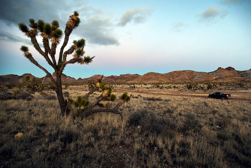 Joshua trees at Castle Mountains National Monument in eastern California on Feb. 1, 2016. The Bureau of Land Management has rejected plans for a sprawling wind energy project in Nevada, just acros ...