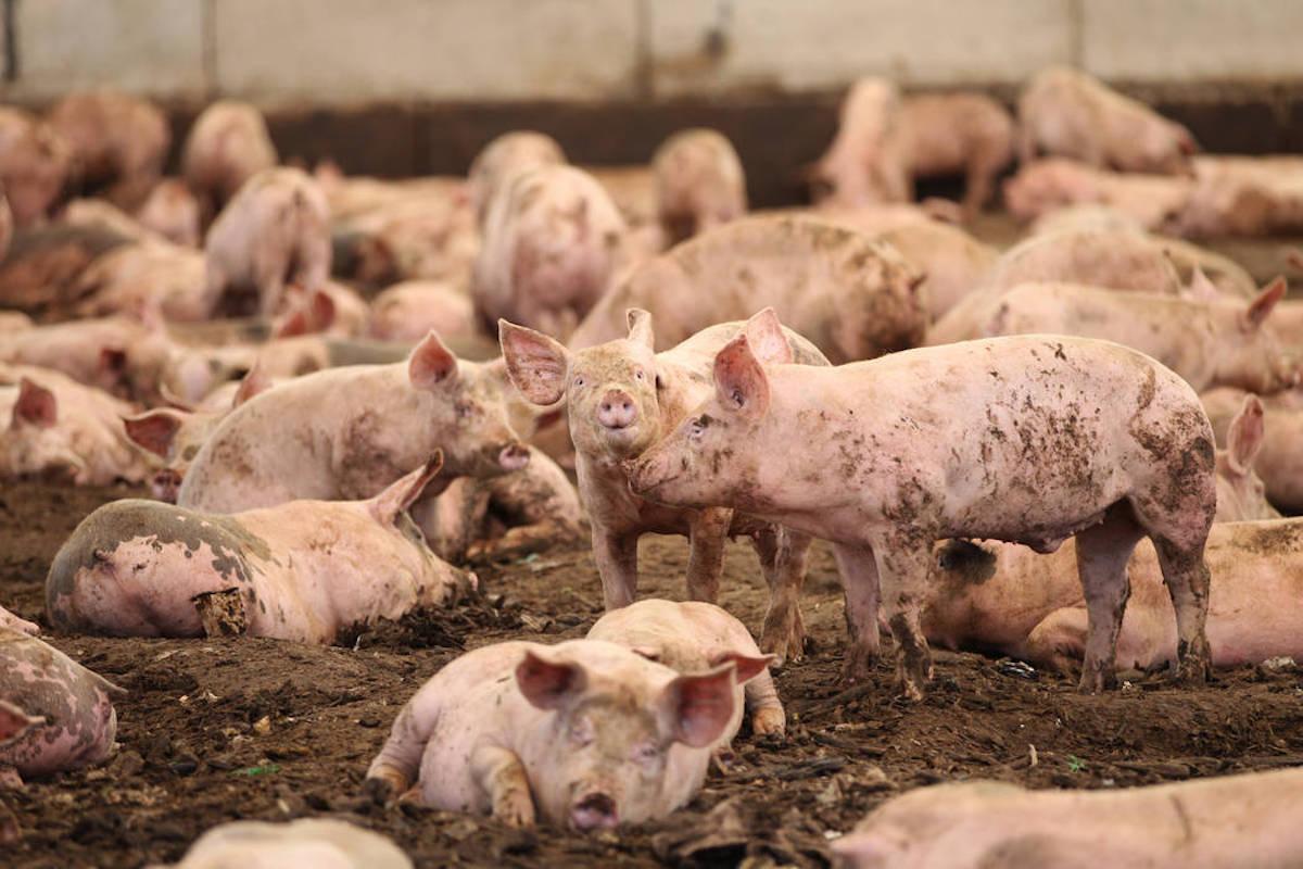 Las Vegas Strip S Leftovers Go To New Pig Farm Las Vegas