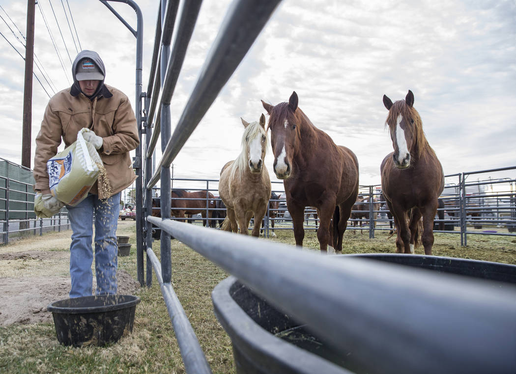 Tyler Jackson, left, livestock crew from Salem, Ark., feeds saddle horses on Tuesday, Dec. 4, 2018, at the UNLV Intramural Field, in Las Vegas. Benjamin Hager Las Vegas Review-Journal