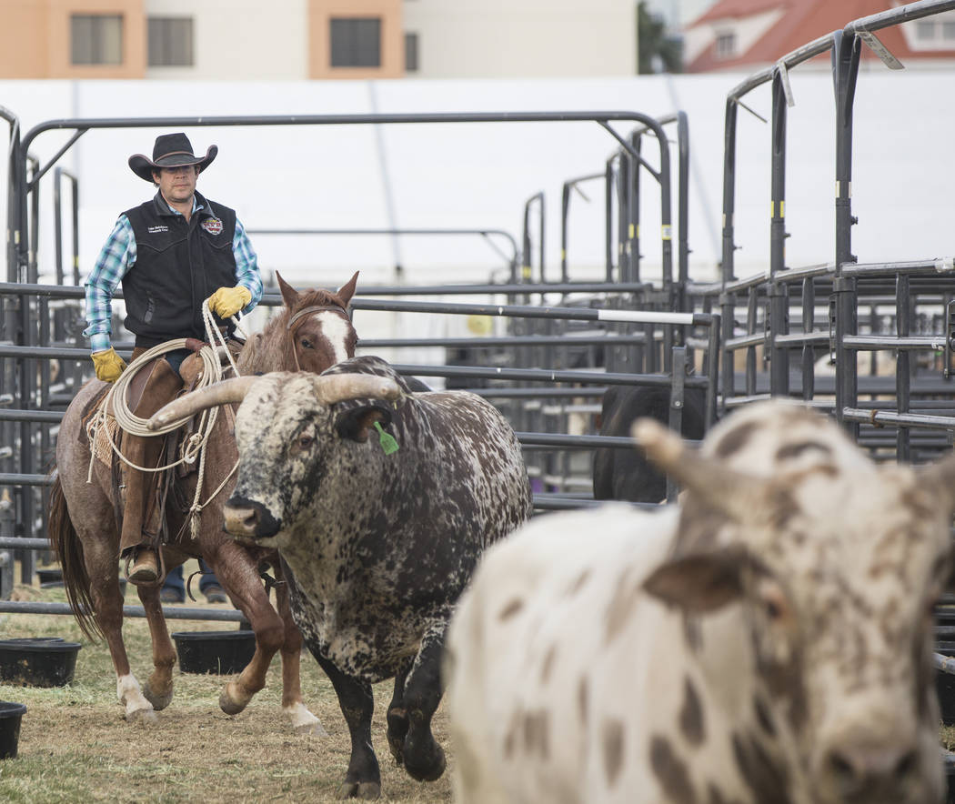 Luke Hutchison, from Belgrade, Mont., herds bulls on Tuesday, Dec. 4, 2018, at the UNLV Intramural Field, in Las Vegas. Benjamin Hager Las Vegas Review-Journal