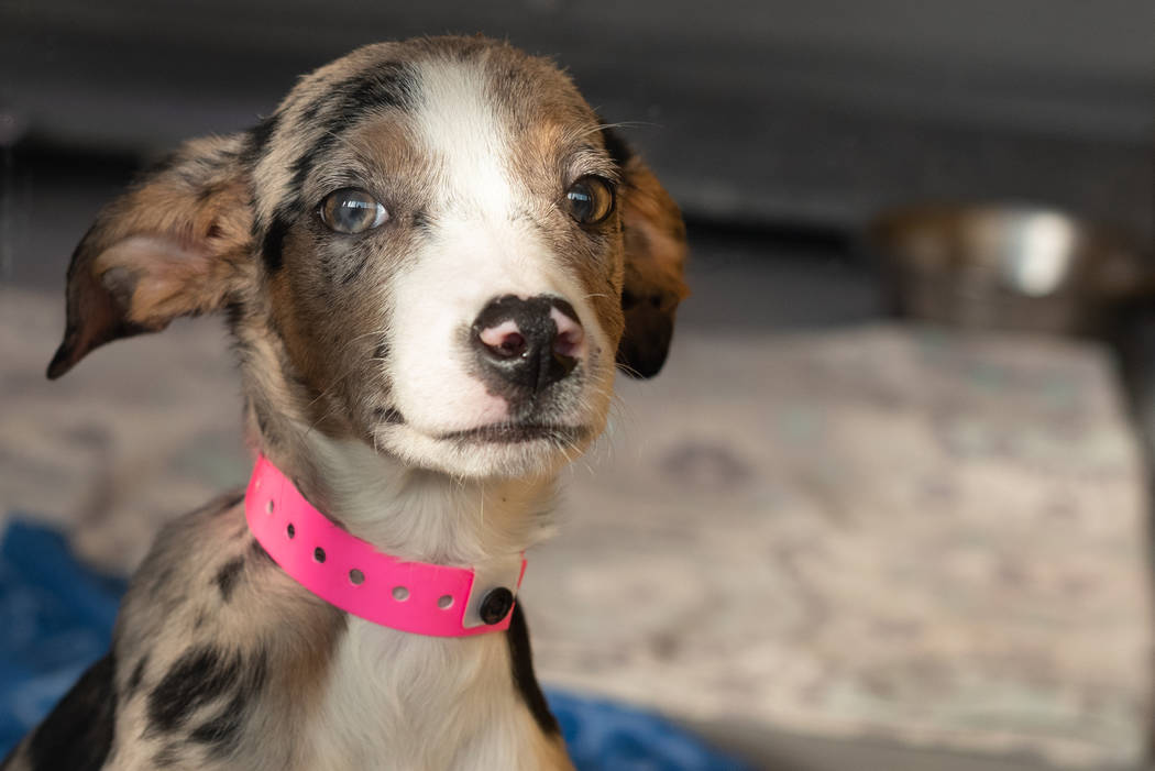 A Catahoula puppy rescued from a home in Moapa Valley at The Animal Foundation. The Animal Foundation