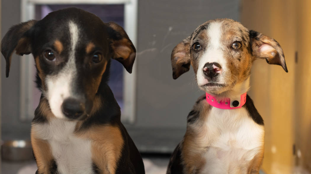 Catahoula puppies at The Animal Foundation. The Animal Foundation