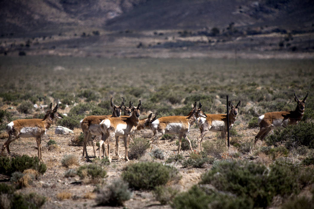 A herd on pronghorn antelope as seen Thursday, May 1, 2014, beside State Route 376 near the Belmont, turnoff. (Jeff Scheid/Las Vegas Review-Journal)