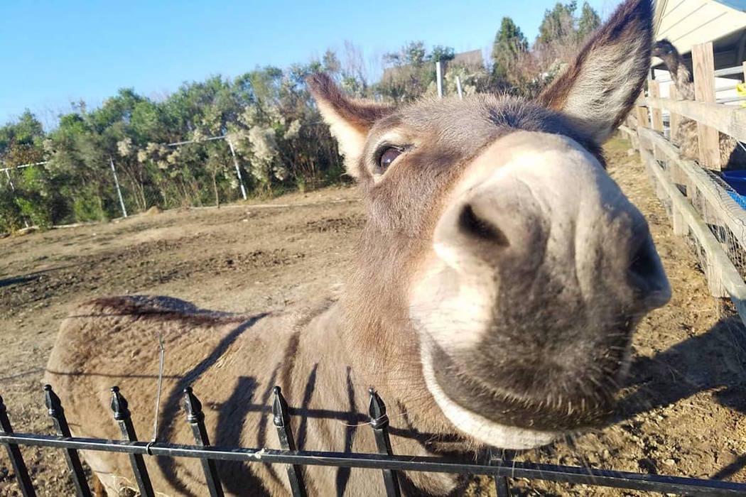 Jack the Donkey. (Carolina Waterfowl Rescue/Facebook)