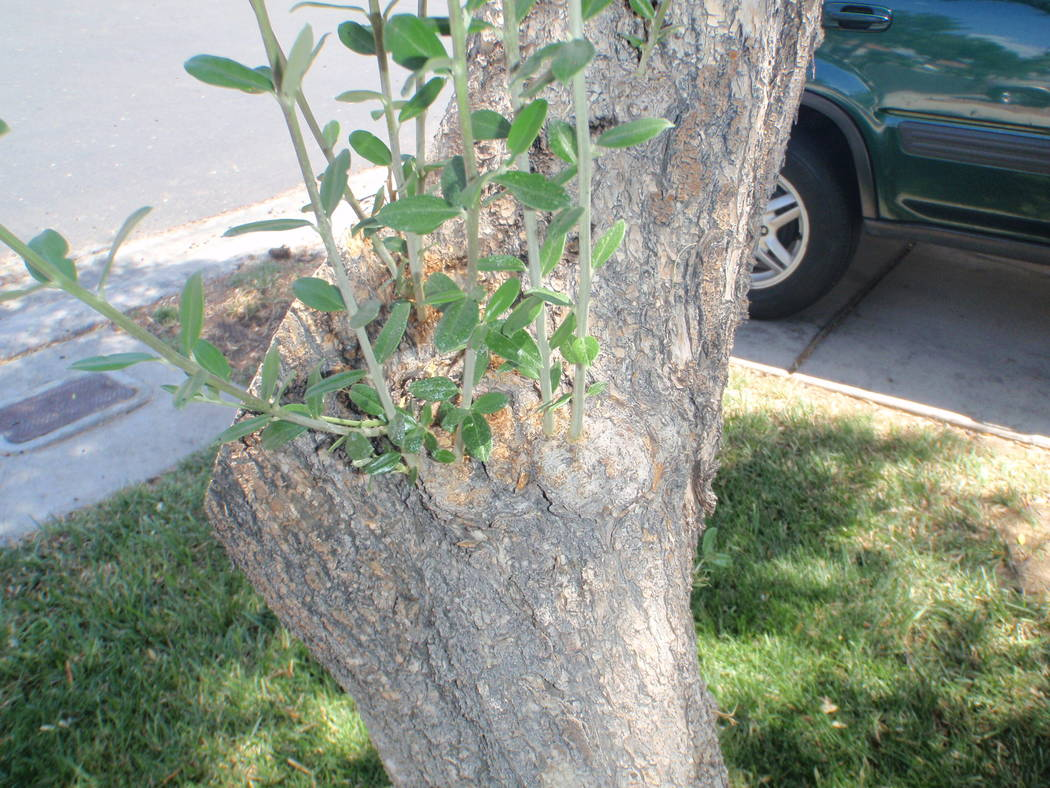 If you look at the base of older olive trees you will see some knots or swellings attached to the lower trunk, trunk limbs and root flares as they get older. (Thinkstock)
