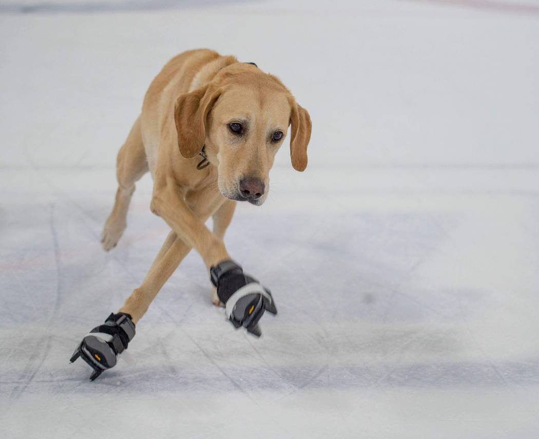 Benny the Skating Dog is shown at Las Vegas Ice Center. His owner, Cheryl DelSangro, hopes he can take the ice with the Vegas Golden Knights. (Rick Vierkandt)