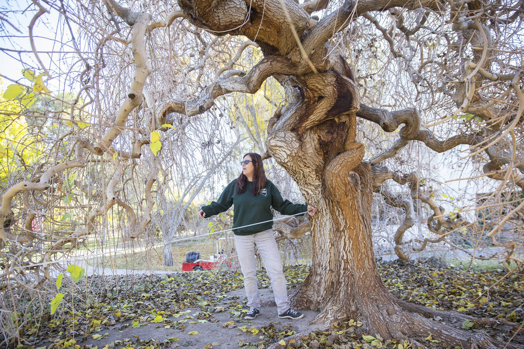 Lisa Ortega, with the Nevada Division of Forestry, measures a Weeping Mulberry Tree on Thursday, Dec. 13, 2018, at UNLV, in Las Vegas. Benjamin Hager Las Vegas Review-Journal