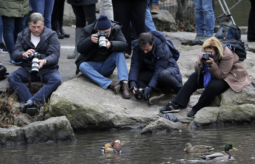 People try to get pictures of a Mandarin duck, center, in Central Park in New York, Wednesday, Dec. 5, 2018. In the weeks since it appeared in Central Park, the duck has become a celebrity. (AP Ph ...