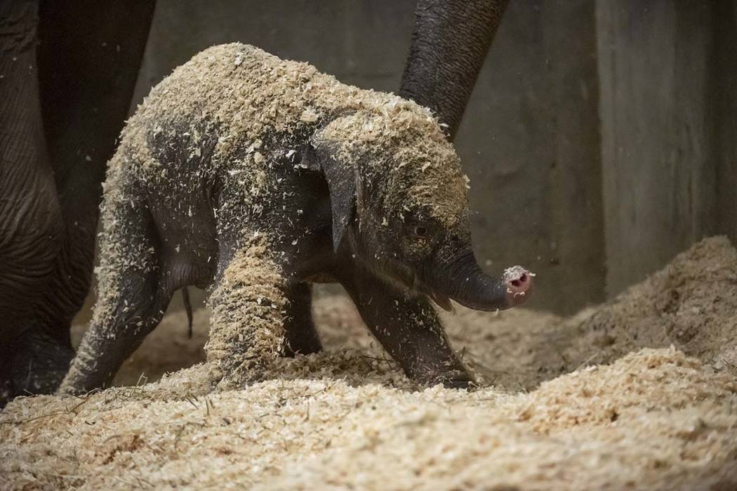 This photo provided by Columbus Zoo and Aquarium shows a Asian elephant, born Thursday, Dec. 6, 2018. (Grahm S. Jones/Columbus Zoo and Aquarium via AP)
