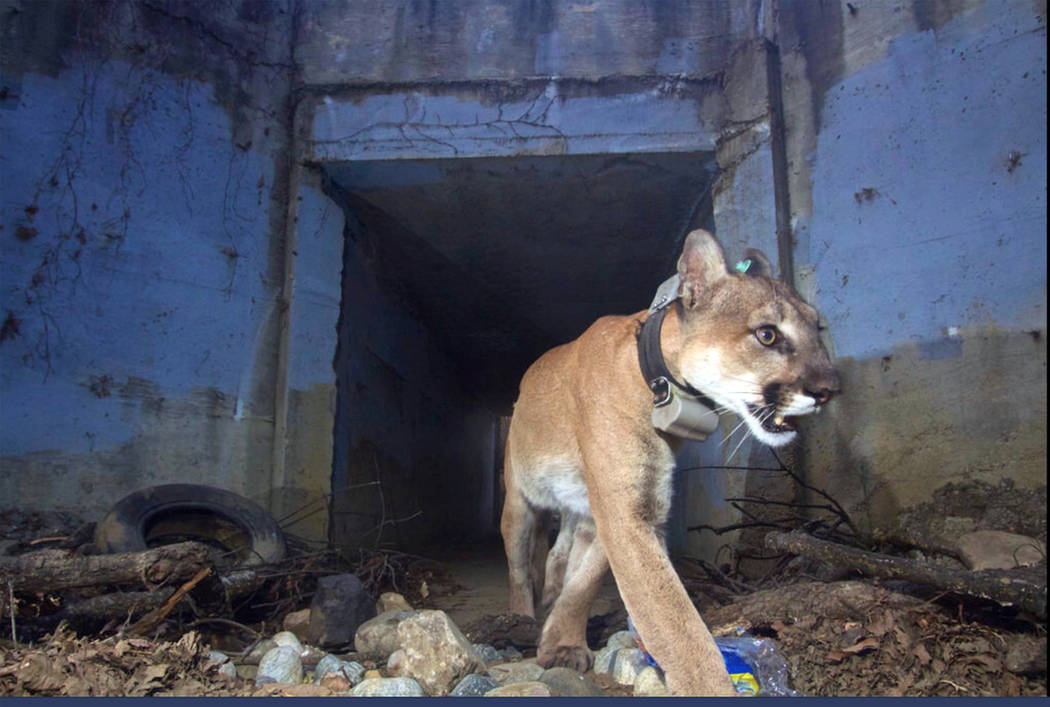 "This May 22, 2018, photo shows the mountain lion known as P-64, also known as the ""Culvert Cat,"" during one of his many crossings of U.S. Highway 101 freeway in Agoura Hills, Calif. (U.S. National ..."