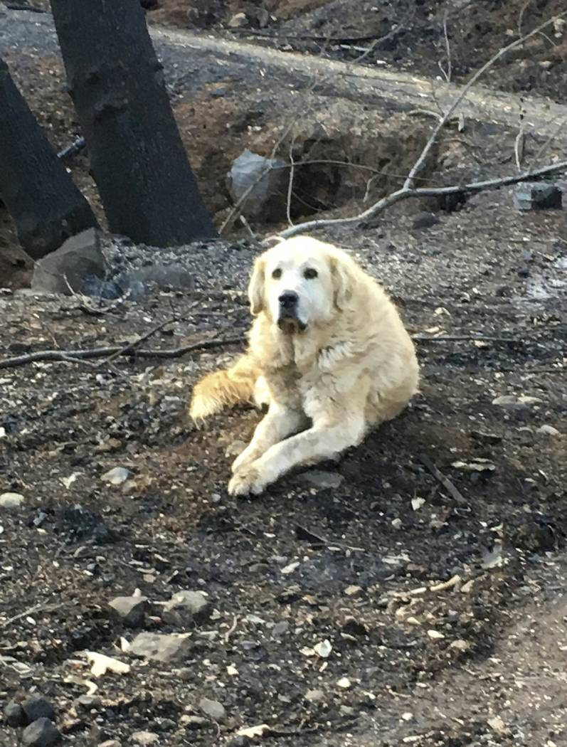 "This Friday Dec. 7, 2018 photo provided Shayla Sullivan shows ""Madison,"" the Anatolian shepherd dog that apparently guarded his burned home for nearly a month until his owner returned in Paradise, ..."