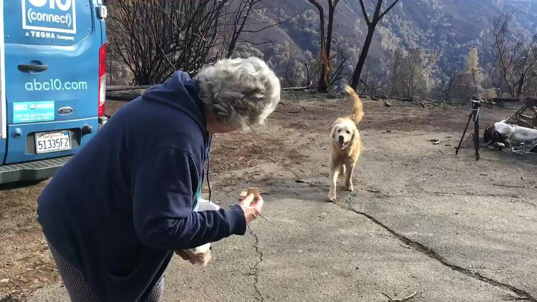 "This Friday Dec. 7, 2018, video image provided Shayla Sullivan shows ""Madison,"" the Anatolian shepherd dog that apparently guarded his burned home for nearly a month getting reunited with his owne ..."