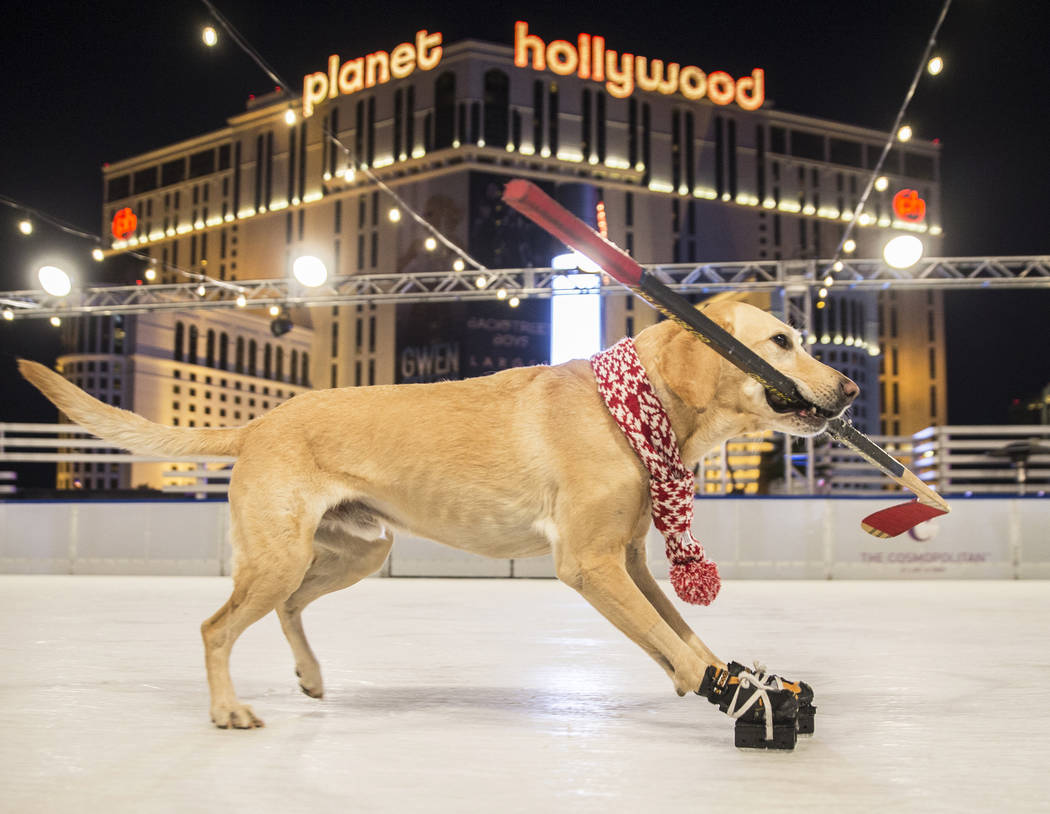Benny, a Labrador Retriever mix, ice skates at The Cosmopolitan of Las Vegas on Wednesday, Dec. 12, 2018, in Las Vegas. Benjamin Hager Las Vegas Review-Journal