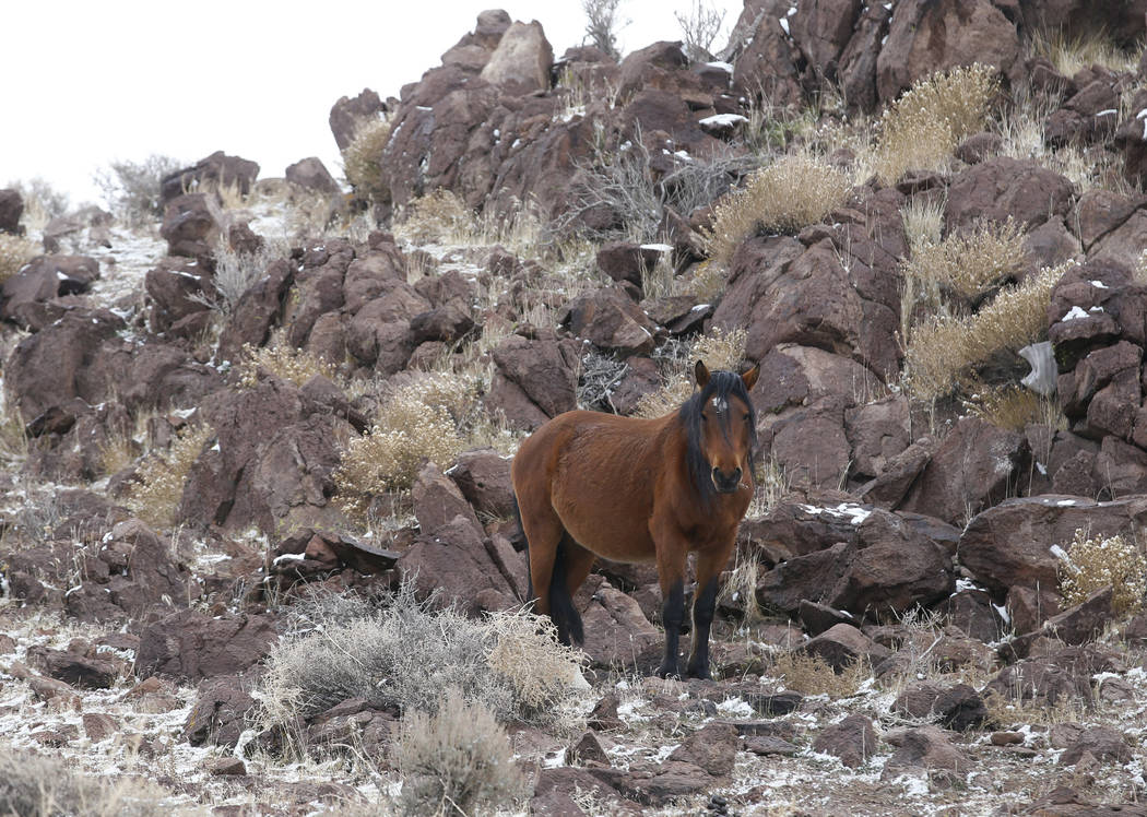 A wild horse moves through the hills surrounding the Tesla Gigafactory, east of Reno, Nev., on Tuesday, Dec. 4, 2018. Cathleen Allison Special to Las Vegas Review-Journal