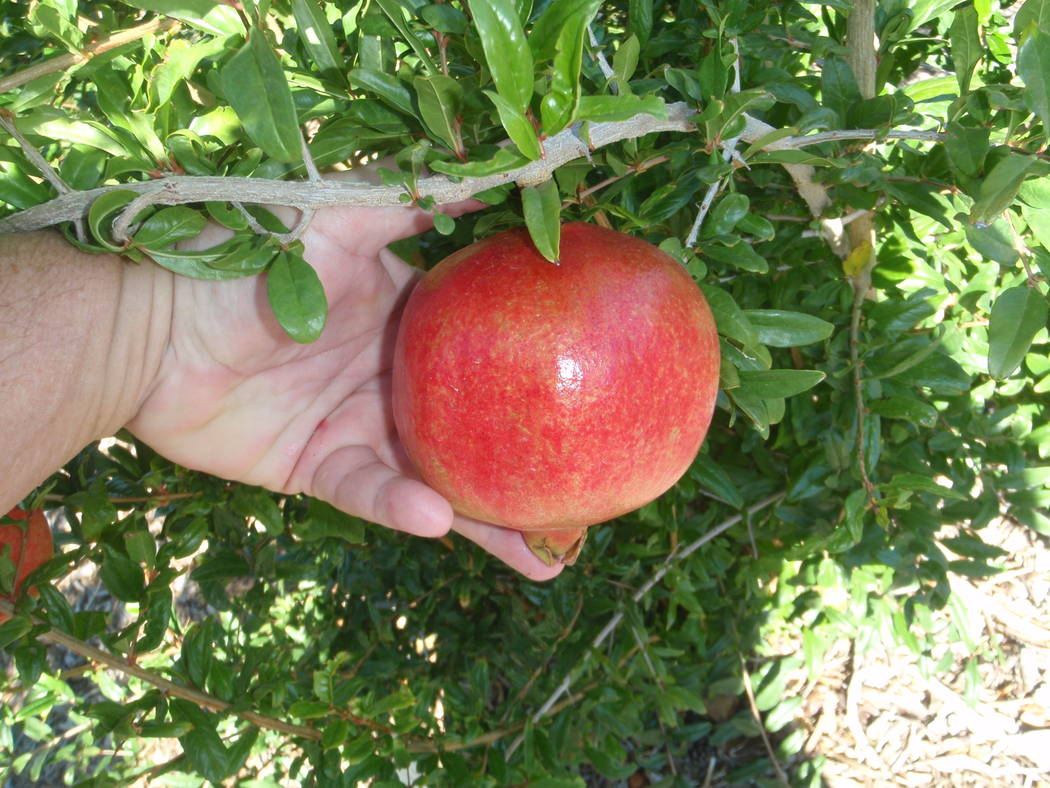 Pomegranate trees can be pruned once they lose their leaves. (Bob Morris)
