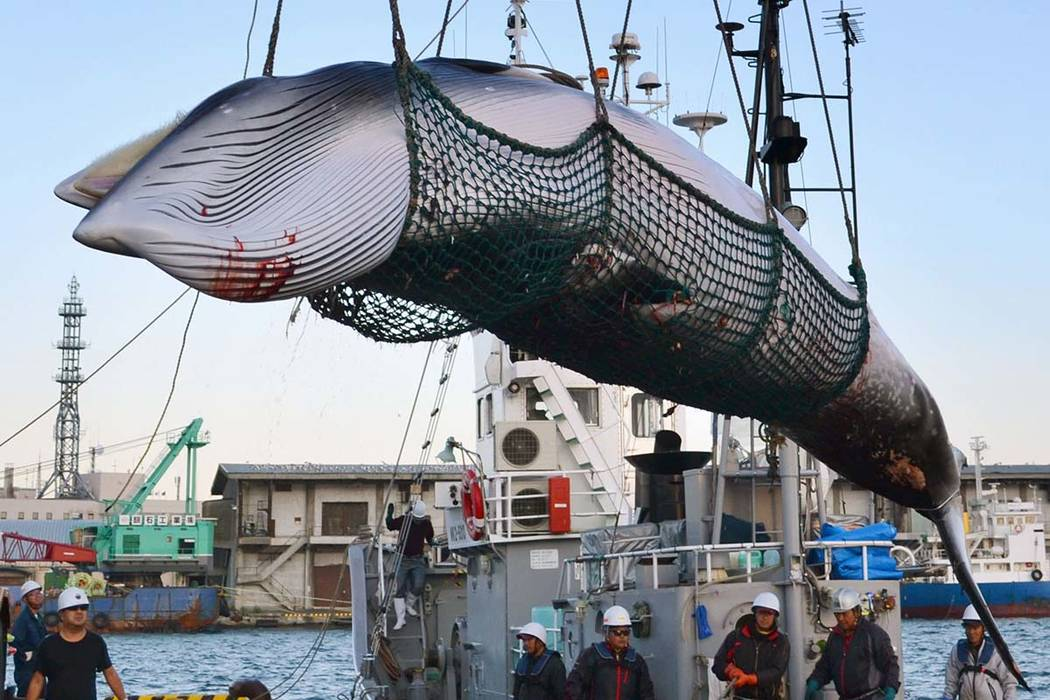 In this September, 2017, photo, a minke whale is unloaded at a port after a whaling for scientific purposes in Kushiro, in the northernmost main island of Hokkaido. Japan says it is leaving the In ...