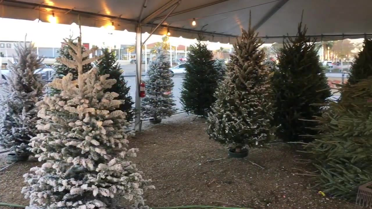 Few Christmas Trees Sold In Nevada Come From Silver State