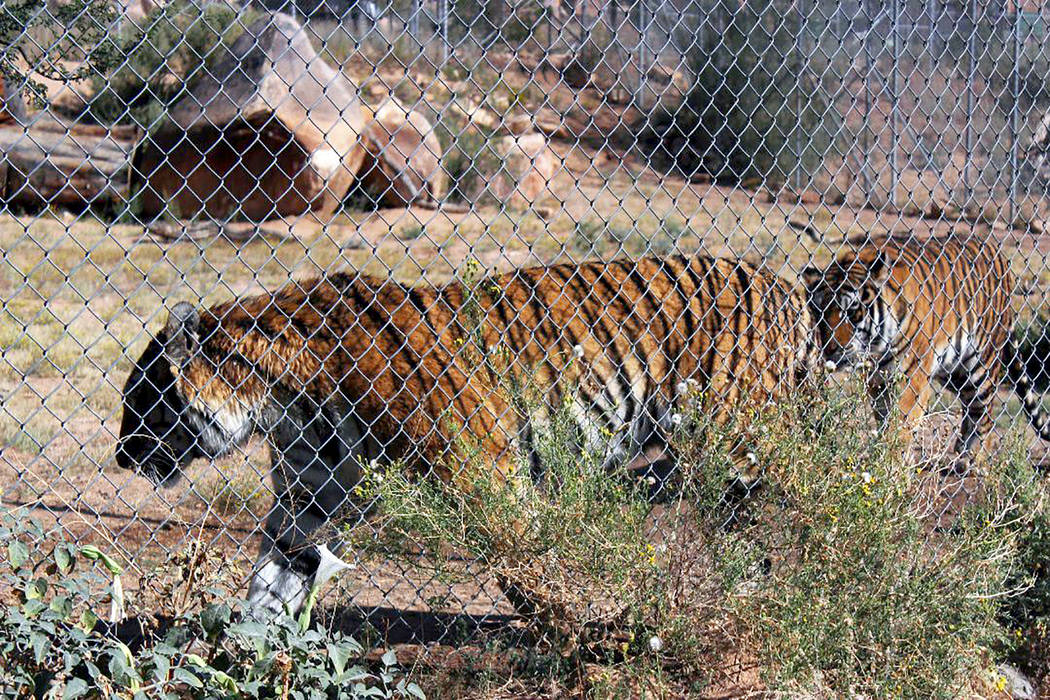 Two Bengal tigers at the Keepers of the Wild Nature Park in Valentine, Arizona. (Deborah Wall/Las Vegas Review-Journal)