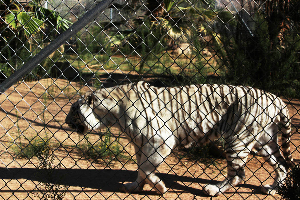 The park is home to more than 30 large cats including a rare Royal White Bengal tiger. (Deborah Wall/Las Vegas Review-Journal)