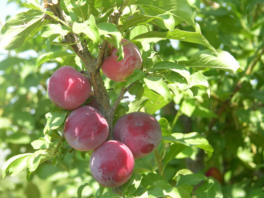 Santa Rosa plum is a good, old-fashioned plum that performs well in the Mojave Desert. (Bob Morris)