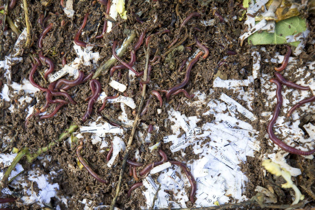 Red worms break down compost in a vermicompost bed at the San Miguel Community Garden located at 3939 Bradley Road in Las Vegas on Saturday, Jan. 12, 2019. Richard Brian Las Vegas Review-Journal @ ...