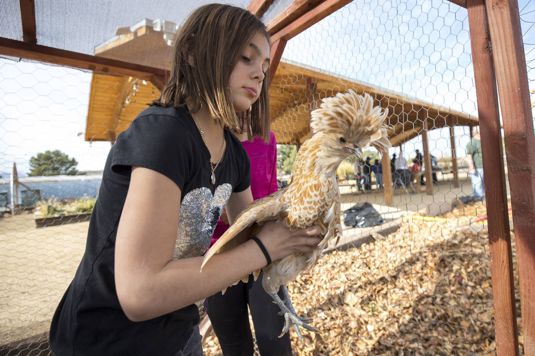 Berlynn Bedard, 8, holds up a Polish chicken, a European breed of chickens known for its crest of feathers, during a volunteering event at the San Miguel Community Garden located at 3939 Bradley R ...