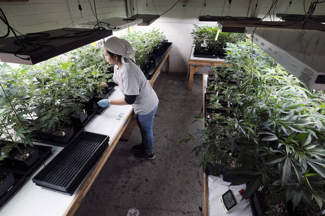 A grower at Loving Kindness Farms attends to a crop of young marijuana plants in Gardena, Calif., in December 2018. (AP Photo/Richard Vogel, file)